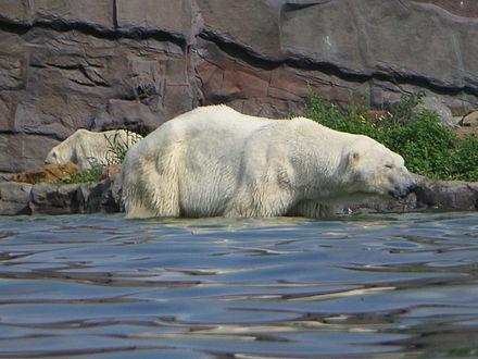 Bild von Gelsenkirchen: Zwei Eisbären in der ZOOM Erlebniswelt (Karte L/14)